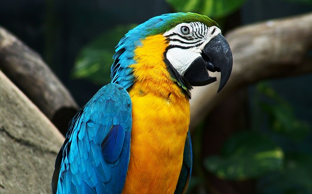 Yellow-Blue-Parrot